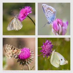 Papillons divers