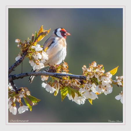 Chardonneret élégant sur une branche de cerisier