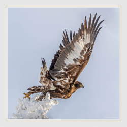 Jeune aigle royal