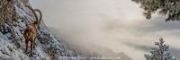 Bouquetin dans le brouillard
