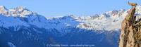 Bouquetins devant le massif des Sarrazins