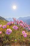 œillet des Alpes