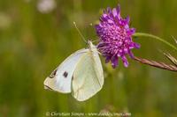 Papillon sur une armérie